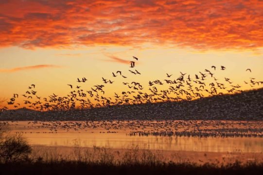 A flock of Snow Geese fly from partly frozen lake at Middle Creek Wildlife Management Area in Lancaster County, Pennsylvania,USA.